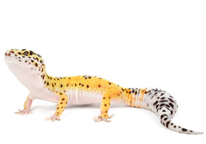 The Gourment Rodent - The World's Largest Reptile Breeder and Supplier - Leopard Gecko