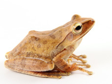 Gold_Tree_Frog1