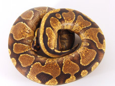 Enchi Yellowbelly Ball Python